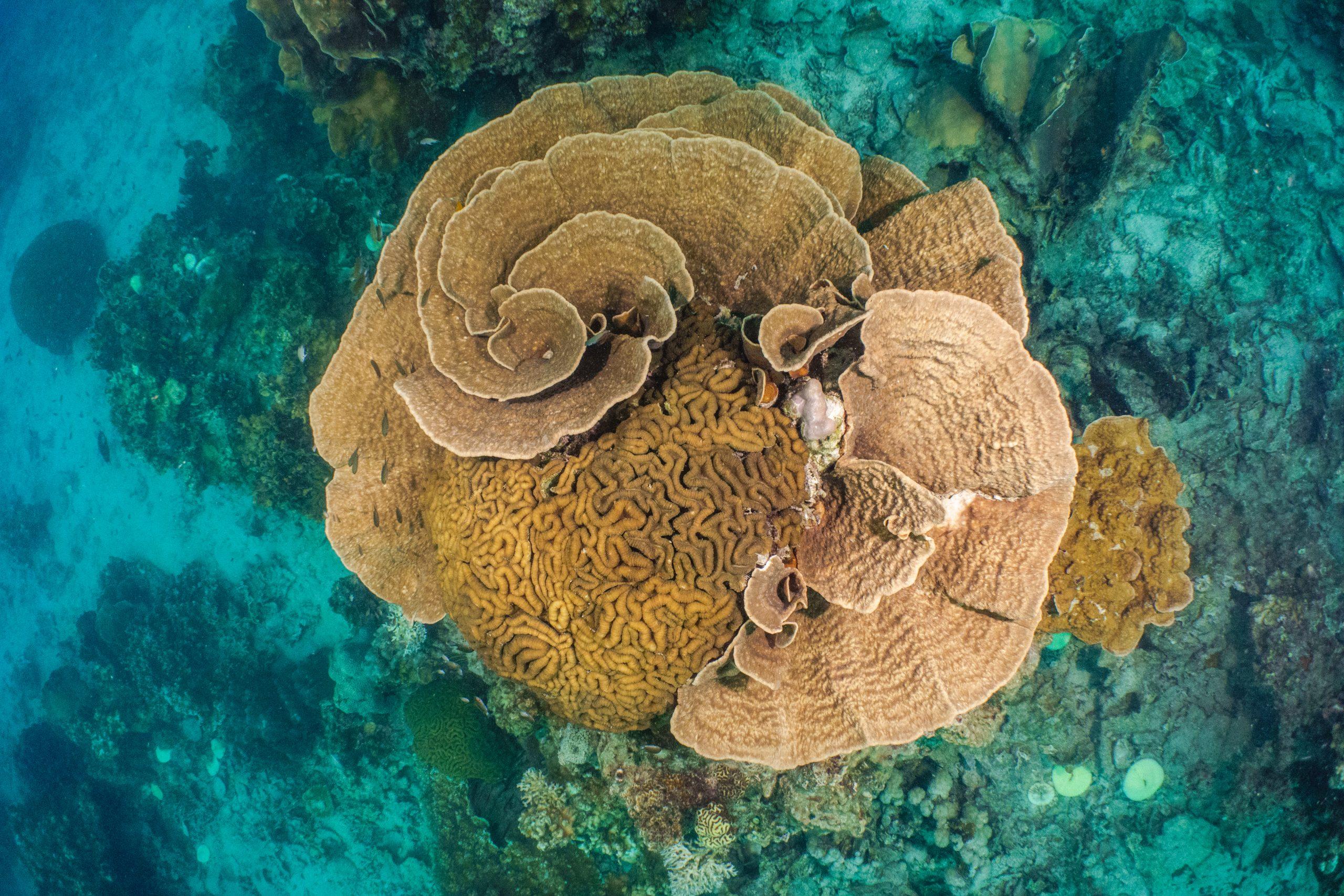 coraux balicasag philippines